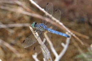 A dragon fly sits on a branch along a trail in the Bill Williams Refuge. Jillian Danielson/RiverScene