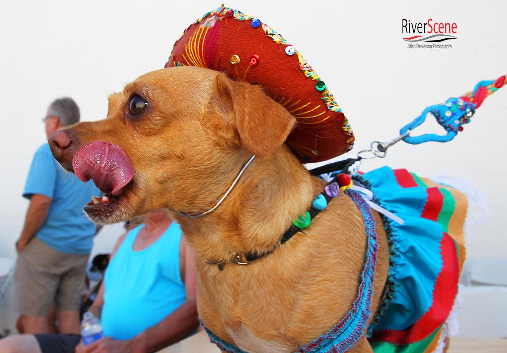 Cinco De Mayo Chihuahua Races