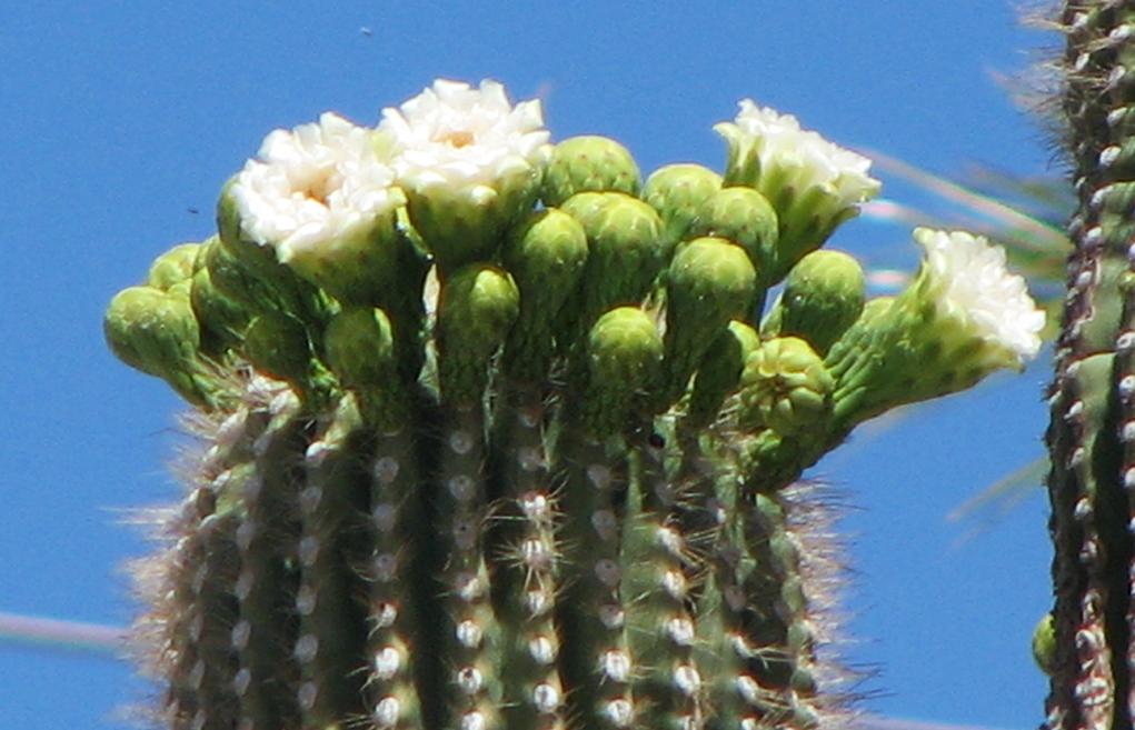 The Fabulous Saguaro