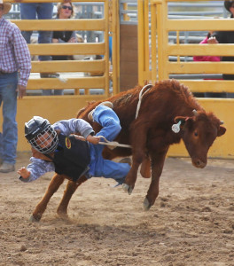 A young Cowboy falls off a calf during the calf riding Saturday morning. Jillian Danielson/RiverScene