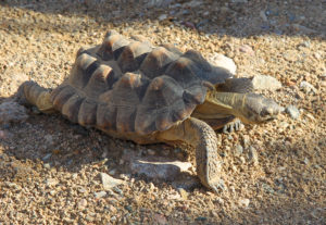 A tortoise walks in its habitat at Lake Havasu High School Tuesday afternoon. Jillian Danielson/RiverScene