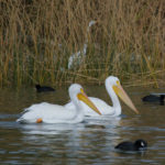 Birds, common to the Colorado River area. Ken Gallagher/RiverScene