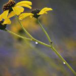 Wildflowers lake havasu
