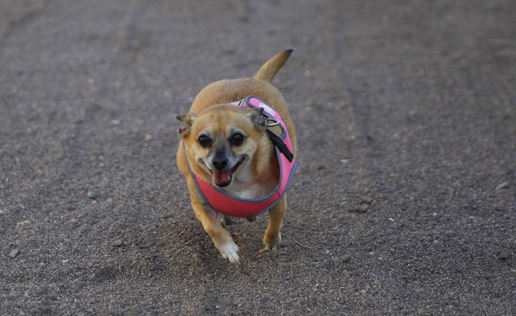 Chihuahuas, On Your Mark, Get Set, Go!