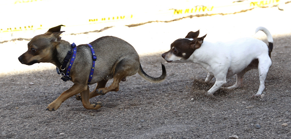 Cinco De Mayo 11th Annual Chihuahua Races